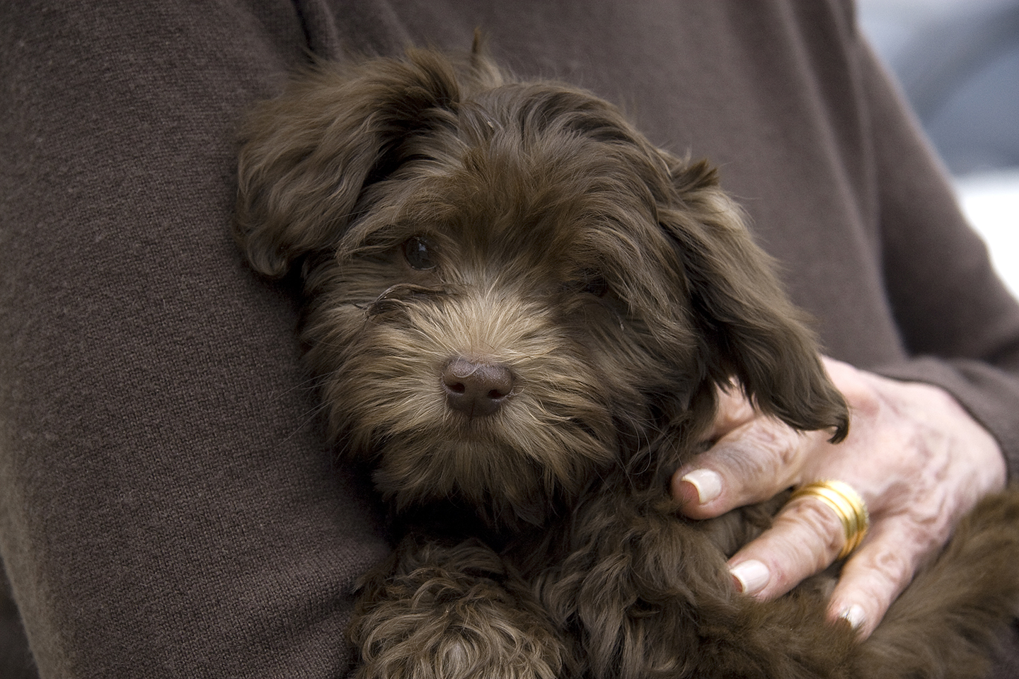 Havana Silk Dogs Havanese - CHOCOLATE SILK HAVANESERare, unusual ...